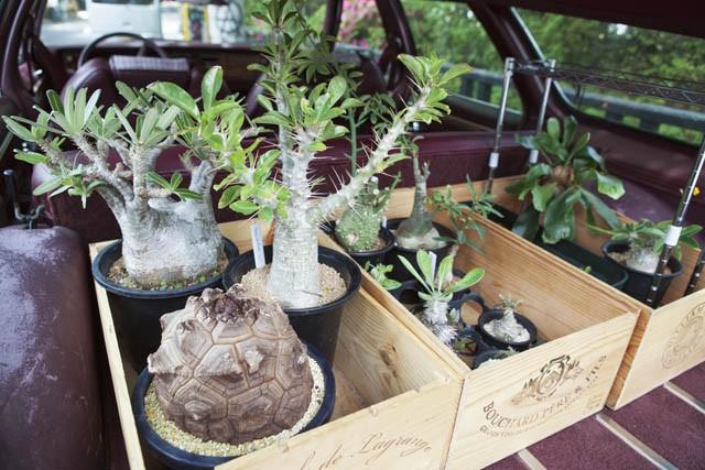 トランクには、ちょうど移送のタイミングだったという、目下ご執心の観葉植物が。特に、根や幹が木質化した塊根植物の魅力にどっぷりだとか