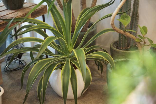 LOCALSTOREの植物